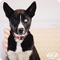 Adopt A Pet :: Klondike - Portland, OR