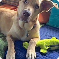 Labrador Retriever/German Shepherd Dog Mix Dog for adoption in Marina del Rey, California - Gilligan