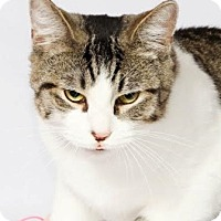 Domestic Shorthair Cat for adoption in Walworth, New York - Rex