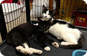 Domestic Shorthair Cat for adoption in Paradise, California - Kate