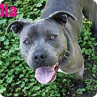 Adopt A Pet :: Mia - Los Olivos, CA