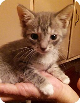 Domestic Shorthair Kitten for adoption in Parkton, North Carolina - Sally
