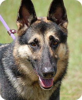 German Shepherd Dog Dog for adoption in Preston, Connecticut - Trina