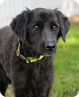 Flat-Coated Retriever Dog for adoption in Troy, Illinois - Georgia