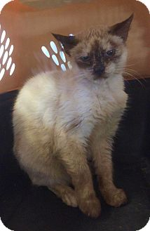 Siamese Cat for adoption in Smithtown, New York - Princess