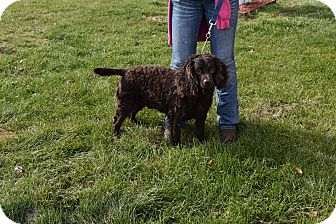 American Water Spaniel Mix Dog for adoption in North Judson, Indiana - Chester