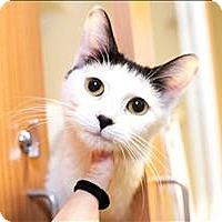 Adopt A Pet :: Amelia - Concord, NH