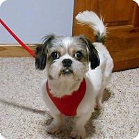 Shih Tzu Mix Dog for adoption in Grafton, Wisconsin - Lonnie
