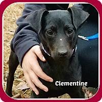 Adopt A Pet :: CLEMENTINE - Malvern, AR