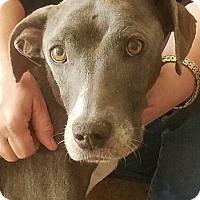 Adopt A Pet :: Hope - Sun Valley, CA