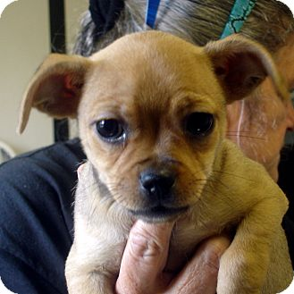 Brussels Griffon/Chihuahua Mix Puppy for adoption in baltimore, Maryland - Nestle