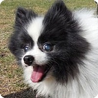 Adopt A Pet :: Hachi - Seymour, CT
