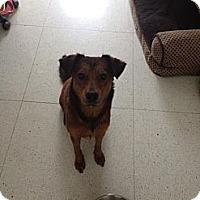 Adopt A Pet :: Scrappy Pup - miami beach, FL