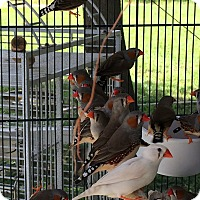 Adopt A Pet :: Flock of 120 Finches - Punta Gorda, FL