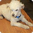 Adopt A Pet :: Benjii