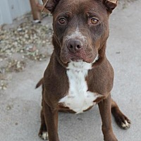 American Staffordshire Terrier Mix Dog for adoption in Yukon, Oklahoma - Coco