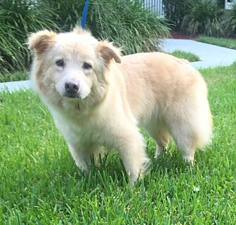 American Eskimo Dog/Golden Retriever Mix Dog for adoption in Summerville, South Carolina - Fluffy