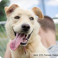 Adopt A Pet :: April - Sherman, CT