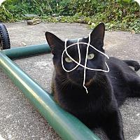 Adopt A Pet :: Jester(CP) - Carlisle, PA