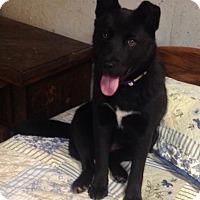Adopt A Pet :: Baloo - Westport, CT
