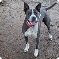 Blue Heeler/Australian Shepherd Mix Dog for adoption in Clearlake, California - Blue