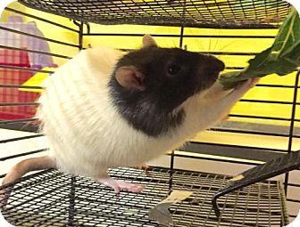 Rat for adoption in Fairfax, Virginia - Copper