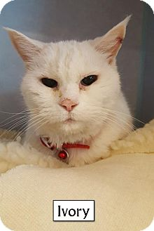 Domestic Shorthair Cat for adoption in Lakewood, Colorado - Ivory