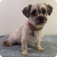 Adopt A Pet :: Yogi - Dallas, TX