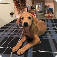 Labrador Retriever/Labrador Retriever Mix Puppy for adoption in Kittery, Maine - Sofie