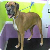 Boxer Dog for adoption in Austin, Texas - Blush