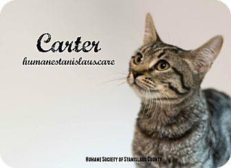 Domestic Shorthair Kitten for adoption in Modesto, California - Carter