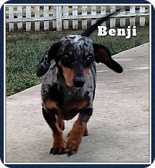 Dachshund Dog for adoption in Green Cove Springs, Florida - Benji