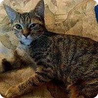 Domestic Shorthair Kitten for adoption in Hampton, Virginia - PENELOPE
