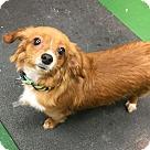 Adopt A Pet :: Brodie - NEEDS FOSTER!