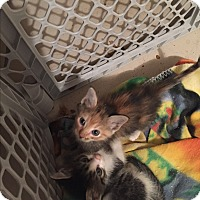 Adopt A Pet :: *Callie* - Weatherford, TX