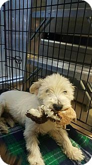 Westie, West Highland White Terrier Mix Dog for adoption in Von Ormy, Texas - Trooper(CRAH)