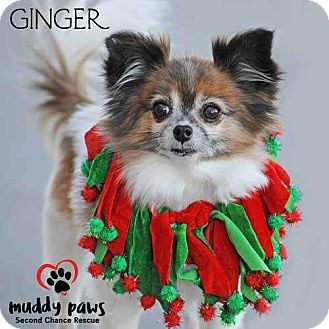 Papillon Mix Dog for adoption in Council Bluffs, Iowa - Ginger