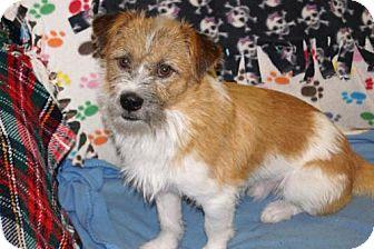 Petit Basset Griffon Vendeen/Terrier (Unknown Type, Medium) Mix Dog for adoption in Agoura Hills, California - 'SCOTTIE'