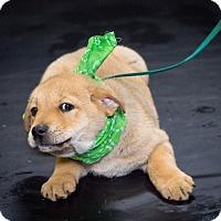Adopt A Pet :: Peter Brady - Brattleboro, VT
