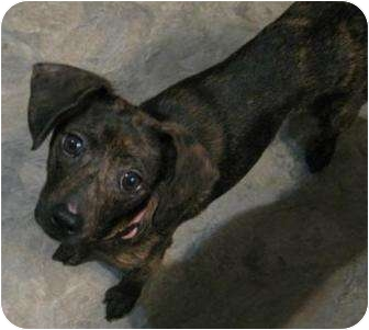 Feist/Chihuahua Mix Dog for adoption in High View, West Virginia ...