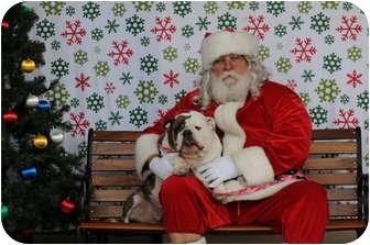 English Bulldog Dog for adoption in Gilbert, Arizona - Belle