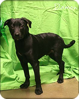 German Wirehaired Pointer/Labrador Retriever Mix Puppy for adoption in Ogden, Utah - Damon