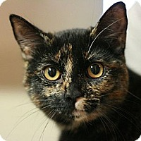 Domestic Shorthair Cat for adoption in Canoga Park, California - Coco