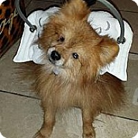 Pomeranian Dog for adoption in Irvine, California - Jackson