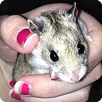 Adopt A Pet :: Tweety - Bensalem, PA