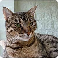 Adopt A Pet :: Miz Walnut - Grayslake, IL