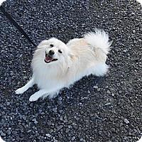 Adopt A Pet :: Tornade - Vaudreuil-Dorion, QC