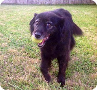 Australian Shepherd Mix Dog for adoption in Texarkana, Texas - Cocoa aka Coke in Texarkana Texas