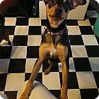 Adopt A Pet :: Sambino - Columbus, OH