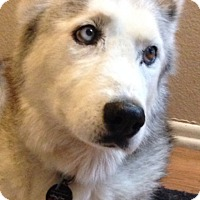 Adopt A Pet :: Husky love! - Whittier, CA
